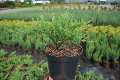 Агрус Можжевельник казацкий Tamariscifolia 20-25 см 3 л