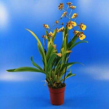 Комнатные цветы в горшке Орхидея Oncidium Rainer Коричневый Florium (916032)