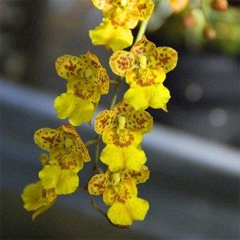 Орхідея Howera Mimi Primi Florium