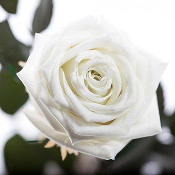 Долгосвежая жива троянда Florich в подарунковій упаковці - Білий діамант 5 карат на короткому стеблі (1115-WT01)