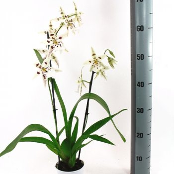 Орхідея Beallara Avalanche Кімнатні квіти в горщику Florium (916303)