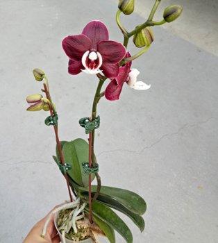Орхідея Phal. Kaoda Twinkle не квітучий підліток 2.5 (Miki-Orchid)