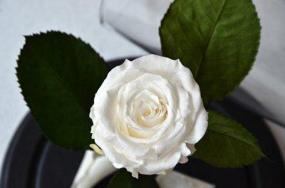 Стабилизированная роза в колбе Etoile Flora Арктический белый 26 см (26R-0814)