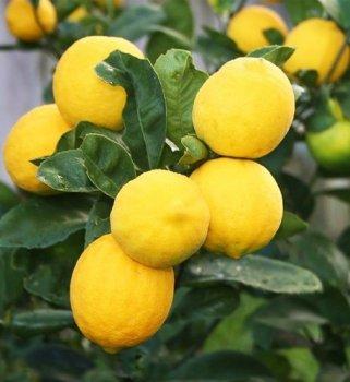 Лимон, сорт київський крупноплідний, висота 21-30см