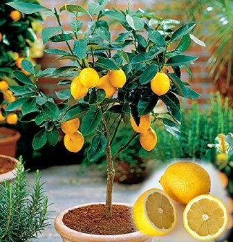 Лимон, сорт Загара Б'янка, висота 30-41см