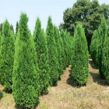 семена Туя западная, семена древовидных, Legutko, Польша 0.1 г (Legutko) (40135)