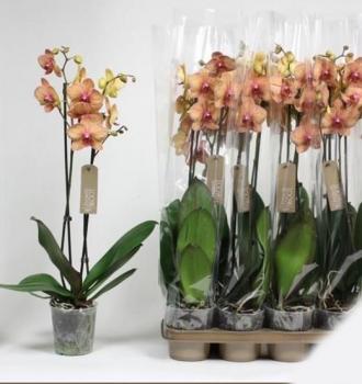Орхідея Фаленопсис Калейдоскоп 1 гілка - Supergreeny - арт. 00000014647