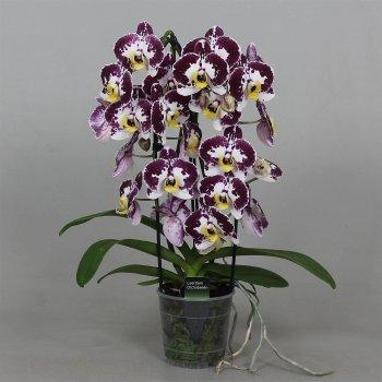 Орхідея Фаленопсис Бьютіфул Белликос 2 гілки каскад 65 см пластиковому горщику - Supergreeny - арт. 00000003709