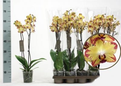 """Орхідея Фаленопсис """"Тигровий"""" 2 гілки - Supergreeny - арт. 00000013276"""