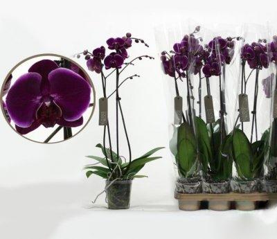 Орхідея Фаленопсис Альфонсо 1 гілка - Supergreeny - арт. 00000013307