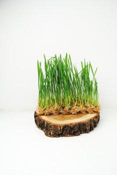 Мкрозелень Пшениця для напою витграсс Trava 50г